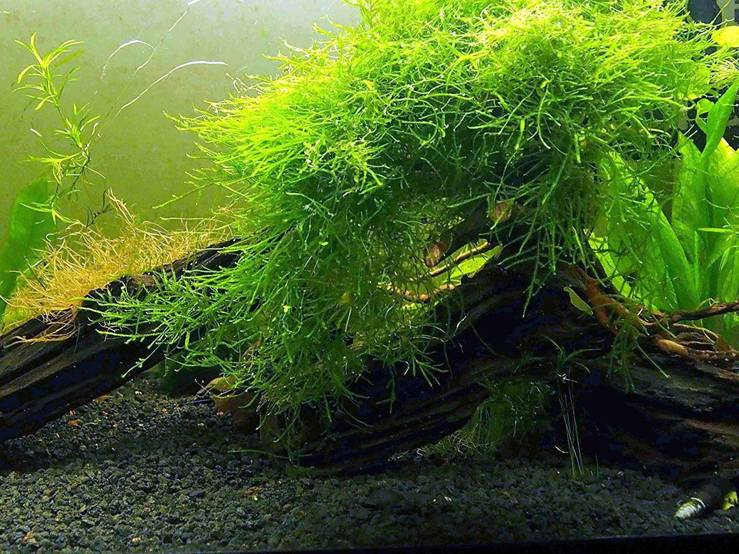 About Aquarium Plants and Java Moss