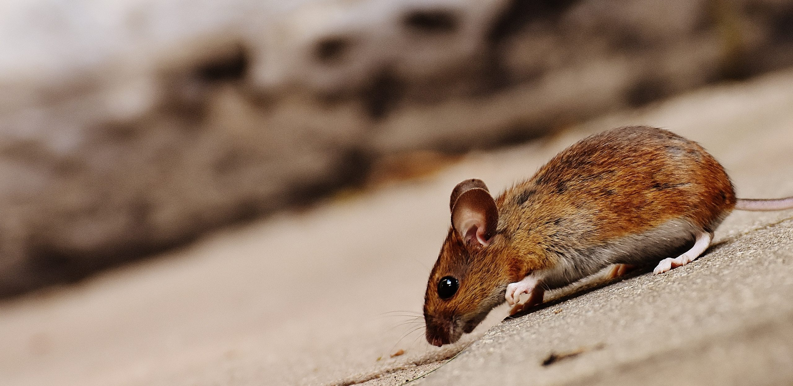Identify Mouse Nests